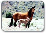 Kiger Mustang and foal