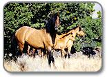 Kiger Mustang Standing in grassy field