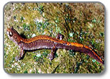 Larch mountain salamander, Plethodon larselli.