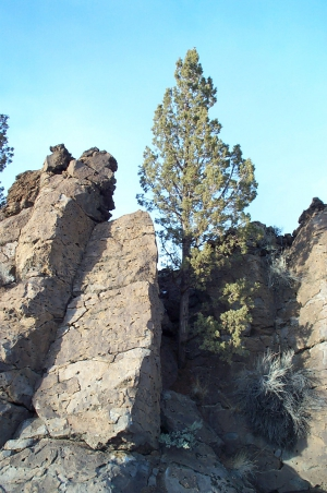 A western juniper emerges from a lava fracture