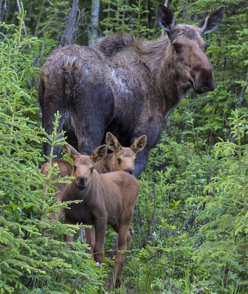 Mother moose and two calves in the woods.  Photo by Bob Wick, BLM.