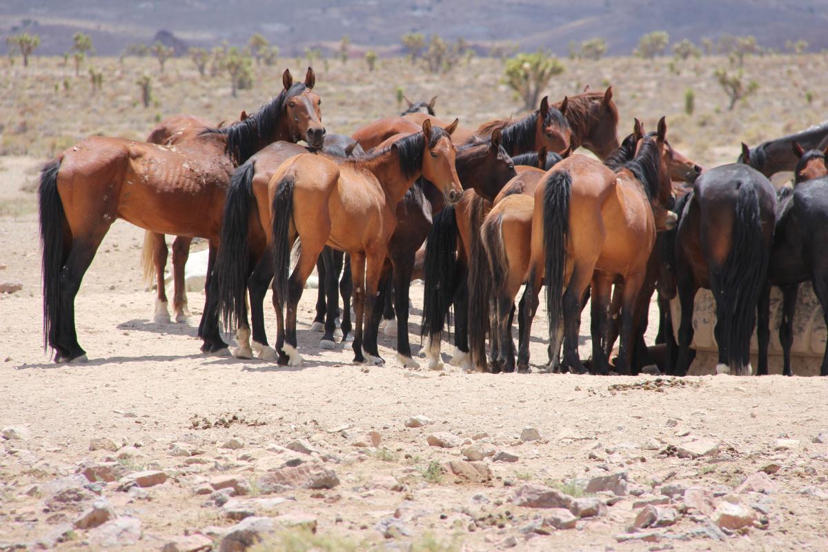 2020 Nevada Wild Horse Range Emergency Wild Horse Gather Bureau Of Land Management
