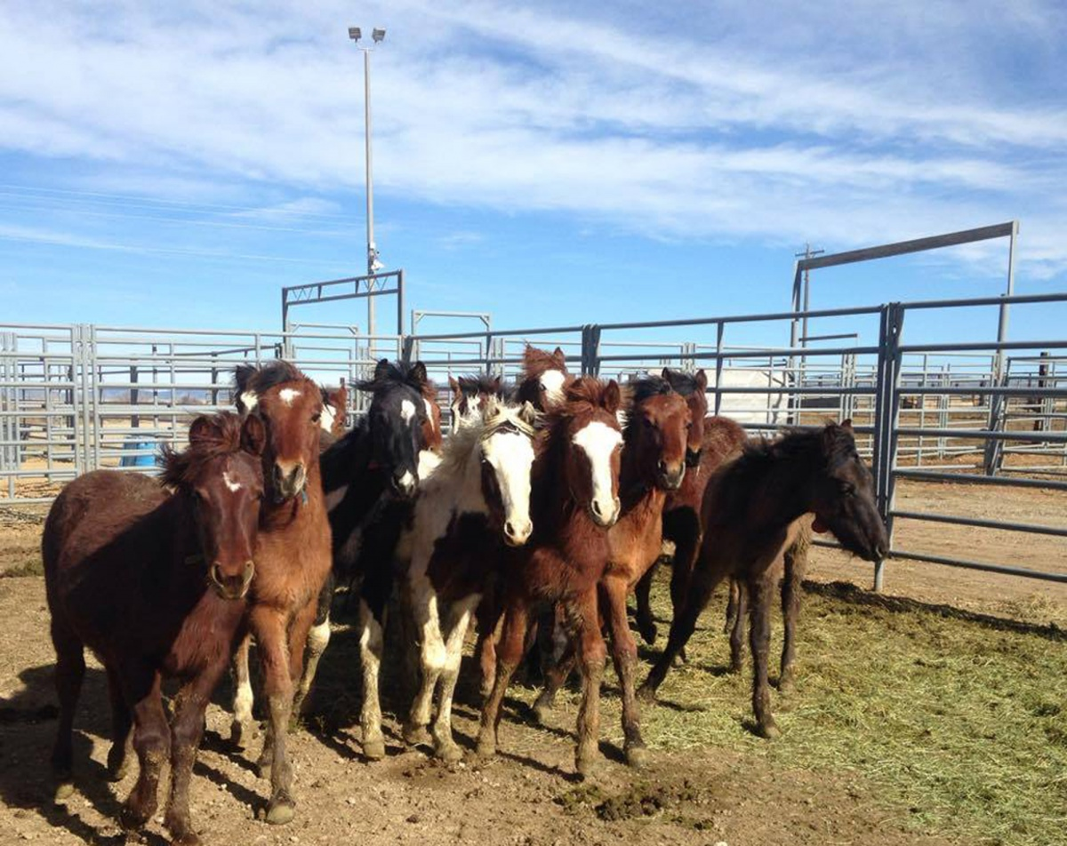 BLM cares for wild horses at the Boise Wild Horse Corrals while they await adoption or  return to the range.