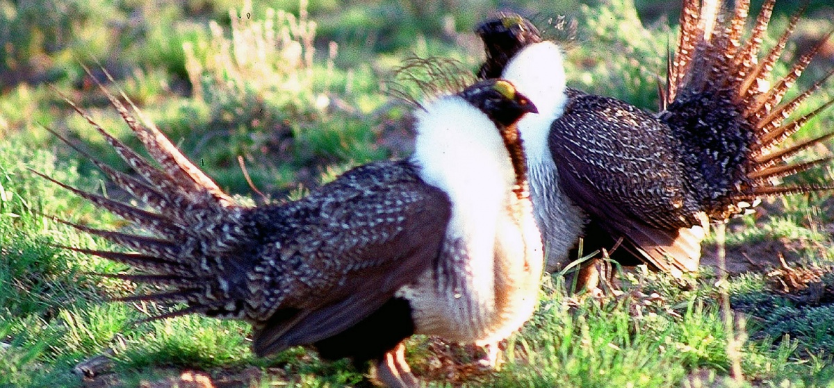 Two sagegrouse. BLM photo