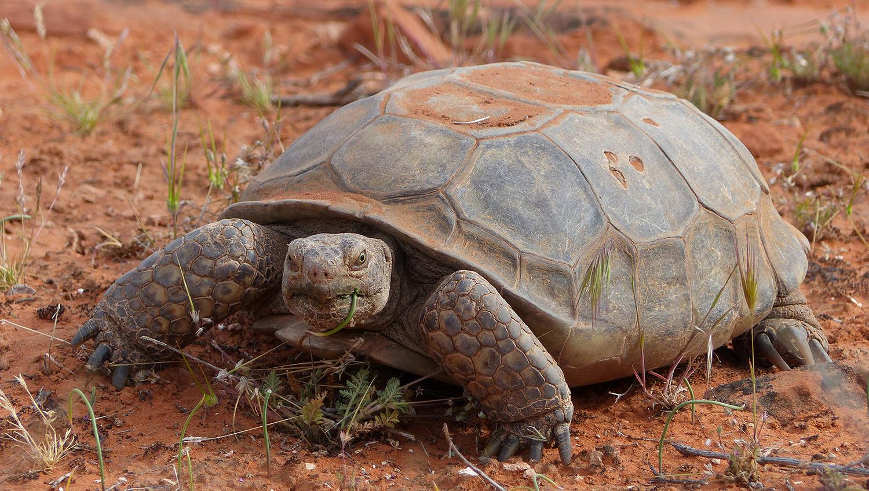 Desert tortoise in the Red Cliffs NCA. Photo by John Kellam