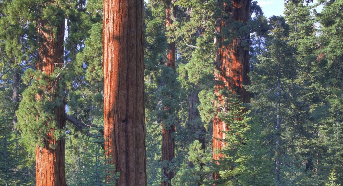 Agrove of redwood trees at  Case Mountain ACEC in California. BLM photo.