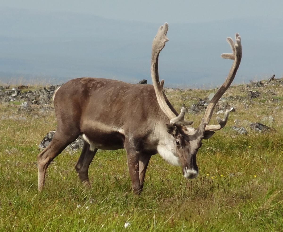 programs natural resources rangelands and grazing reindeer