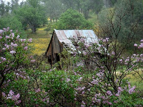 A small wooden cabin in disrepair, partially obscured by a bush with purple flowers located in the Keyesville Recreation Area, Kern County, California