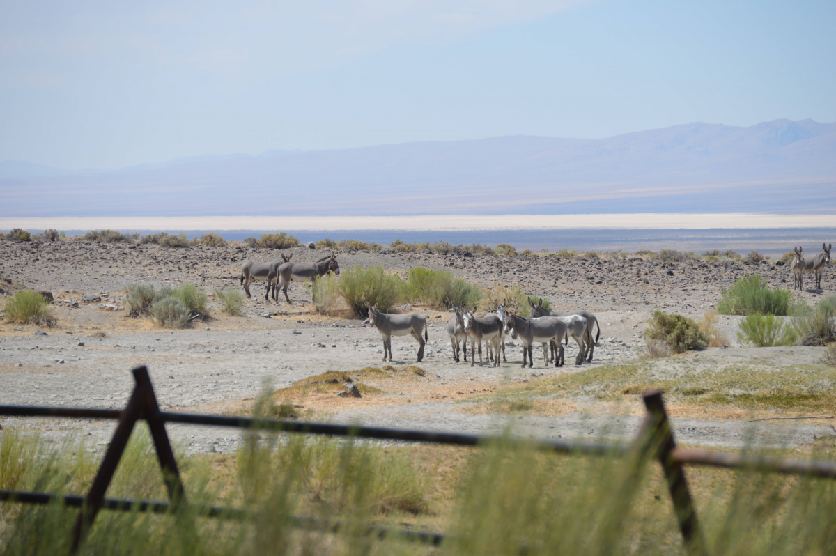 Wild Burros from the Seven Troughs HMA near Porter Springs