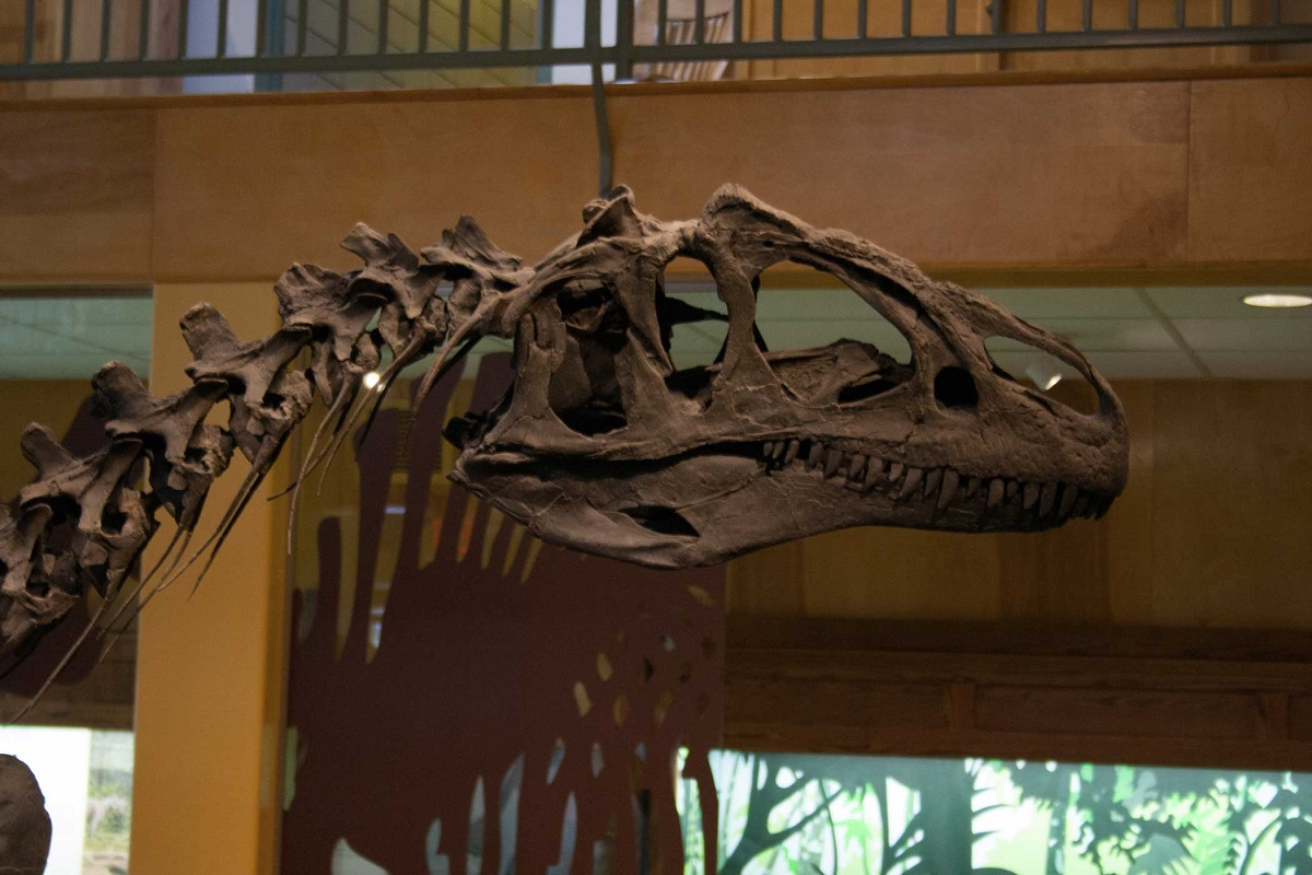 Close up of an allosaurus skeleton head in a museum.