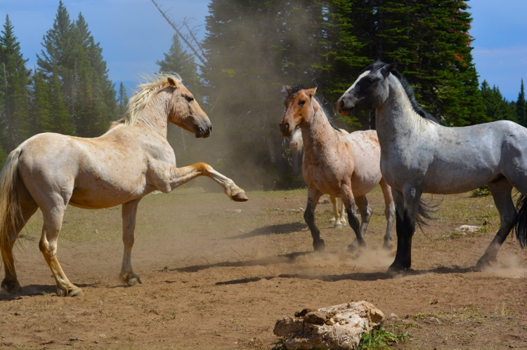 Wild horses in the Pryor Mountains in Montana