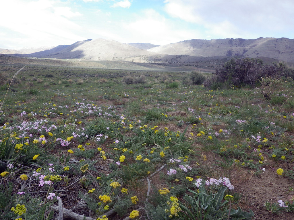 Phlox and lomatium in flower in the great Basin