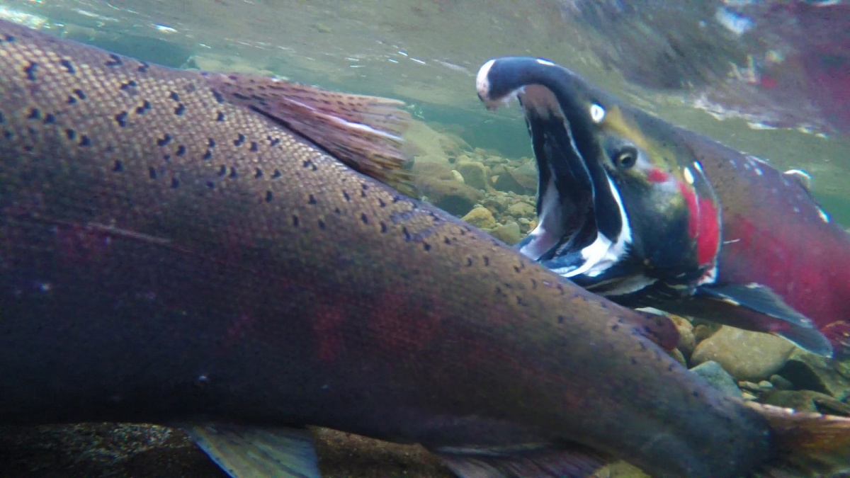 Close up of fish swimmping in a river. BLM Oregon photo.