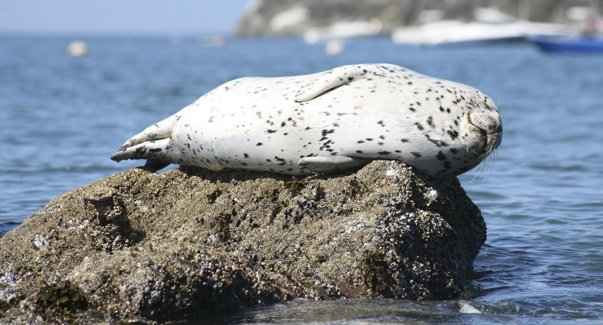 Harbor seal rests on a rock at California Coastal National Monument. Photo by Bob Wick, BLM.