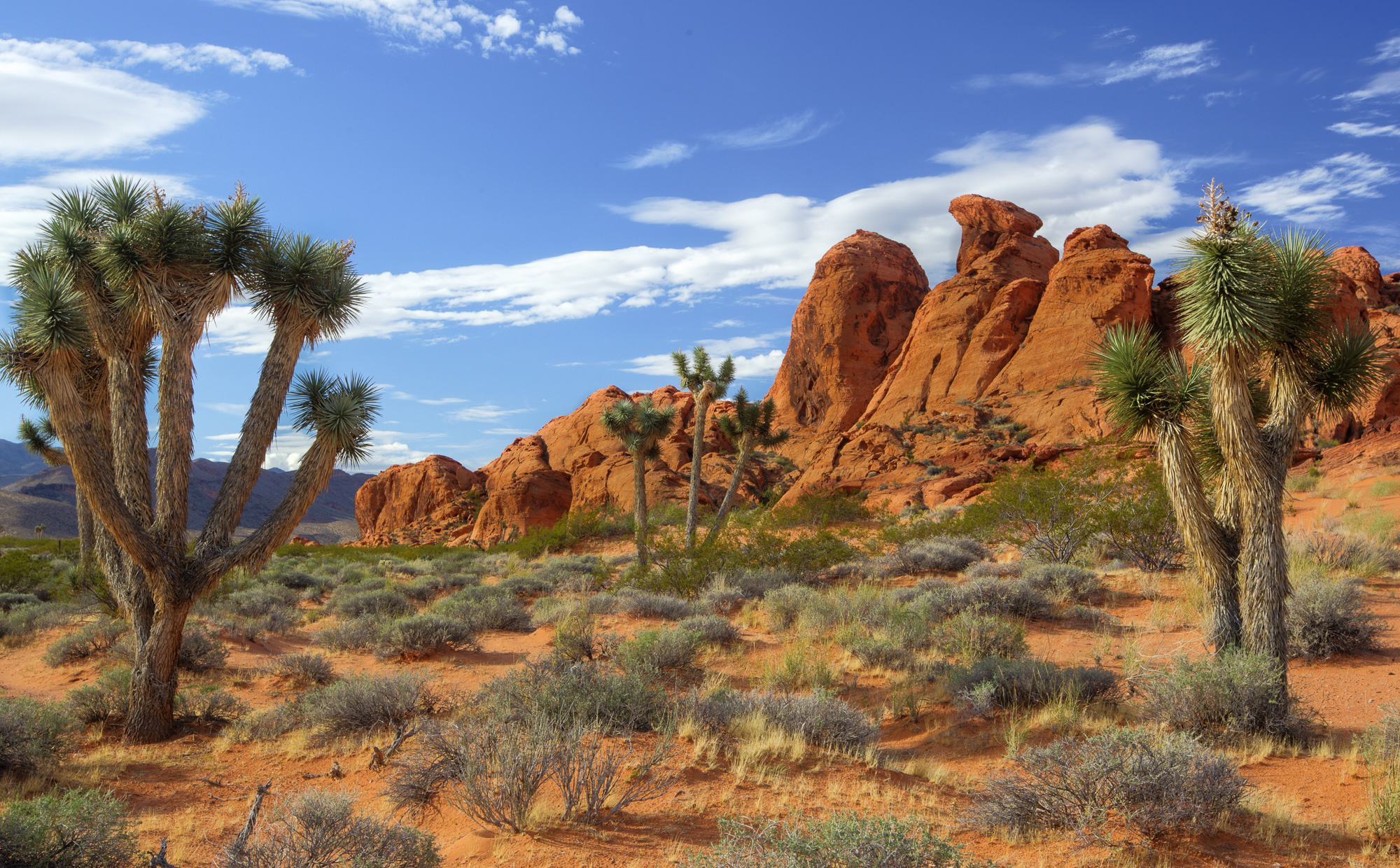 Joshua Trees at Gold Butte