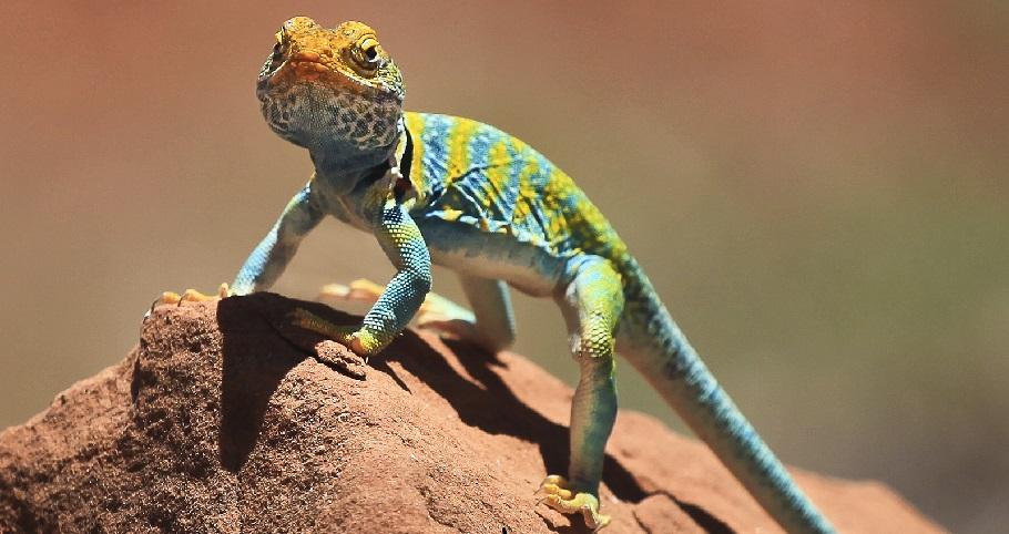 A lizard at Dominguez Escalante NCA in Colorado. Photo by Bob Wick, BLM