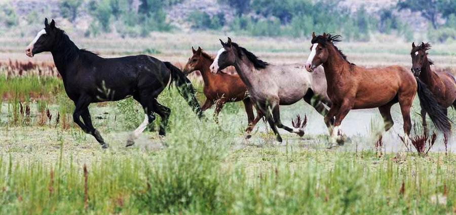 Programs Wild Horse And Burro Bureau Of Land Management