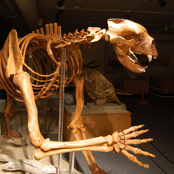 Arctodus Giant Short Faced Bear at the Idaho Museum of Natural History
