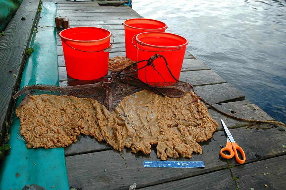 Sea Squirt Invades BLM Submerged Lands in Southeast Alaska   BUREAU ...