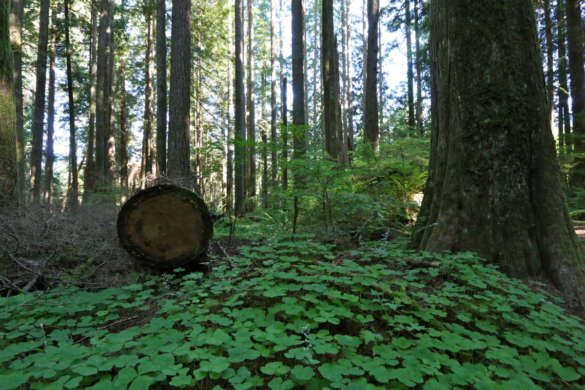 A landscape shot of a forest, with one tree cut. Photo BLM Oregon.