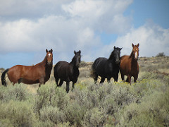 Four wild horses stand in tall bushes.  BLM Photo.