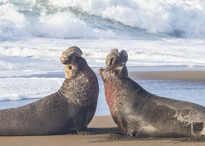 Two male elephant seals sparring.