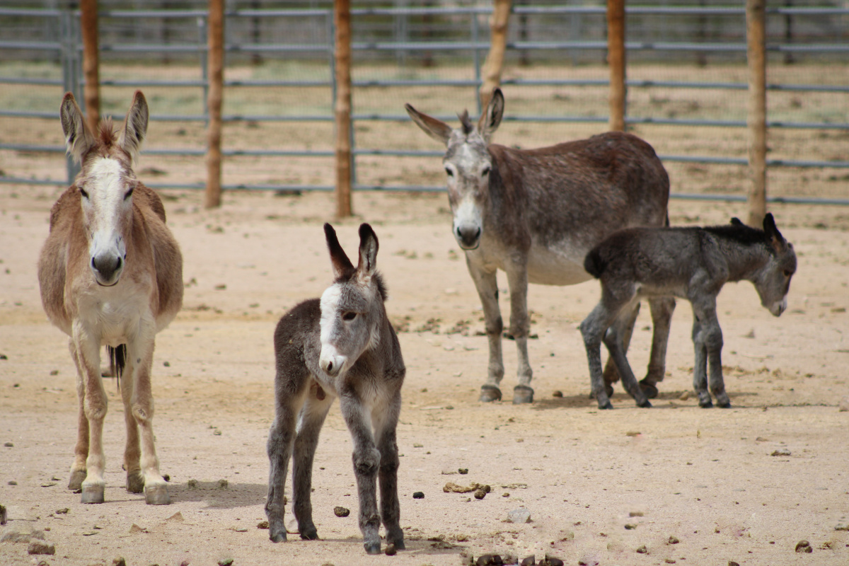 Two baby burros in pen. BLM Photo