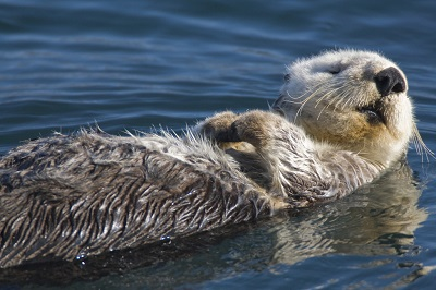 Sea otter on its back.