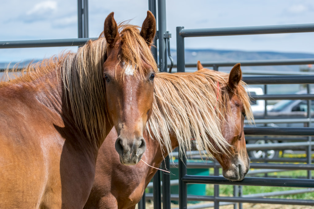 Wild horses at the recent adoption event at Deerwood Ranch in Wyoming. Photo by Nikki Maxwell, BLM.