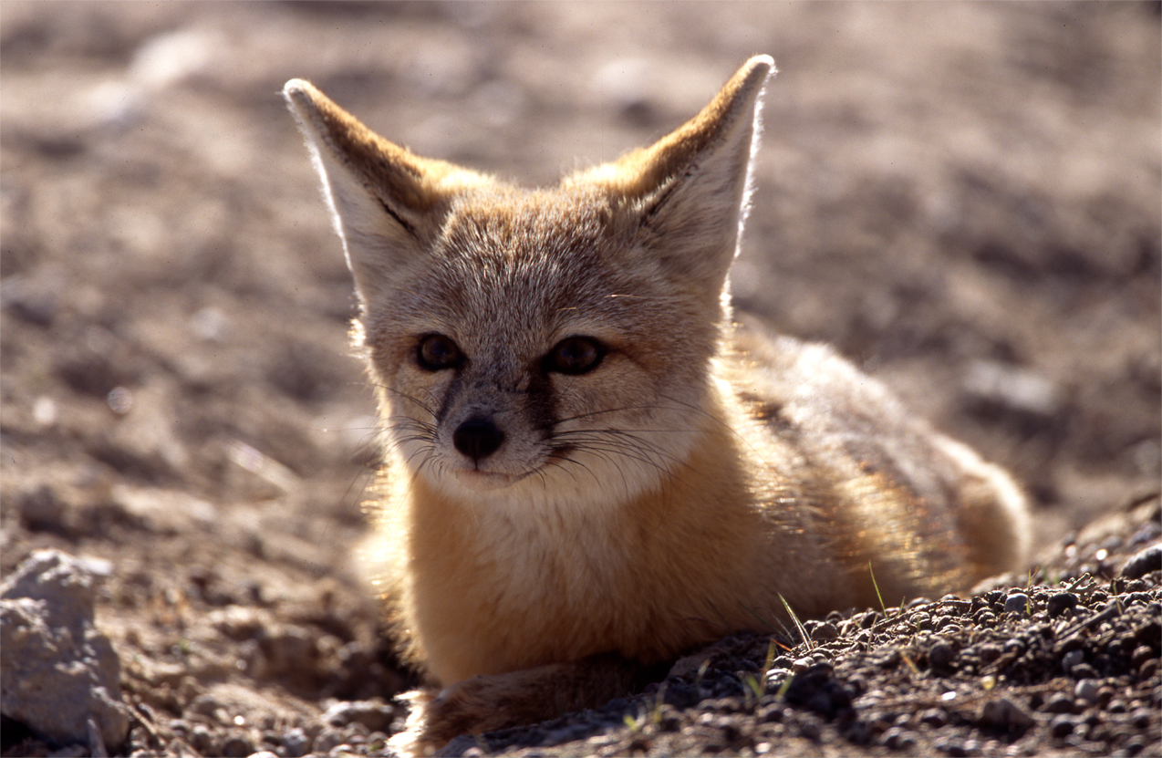 A kit fox sits in the sand at Little Sahara Recreation Area, Utah.