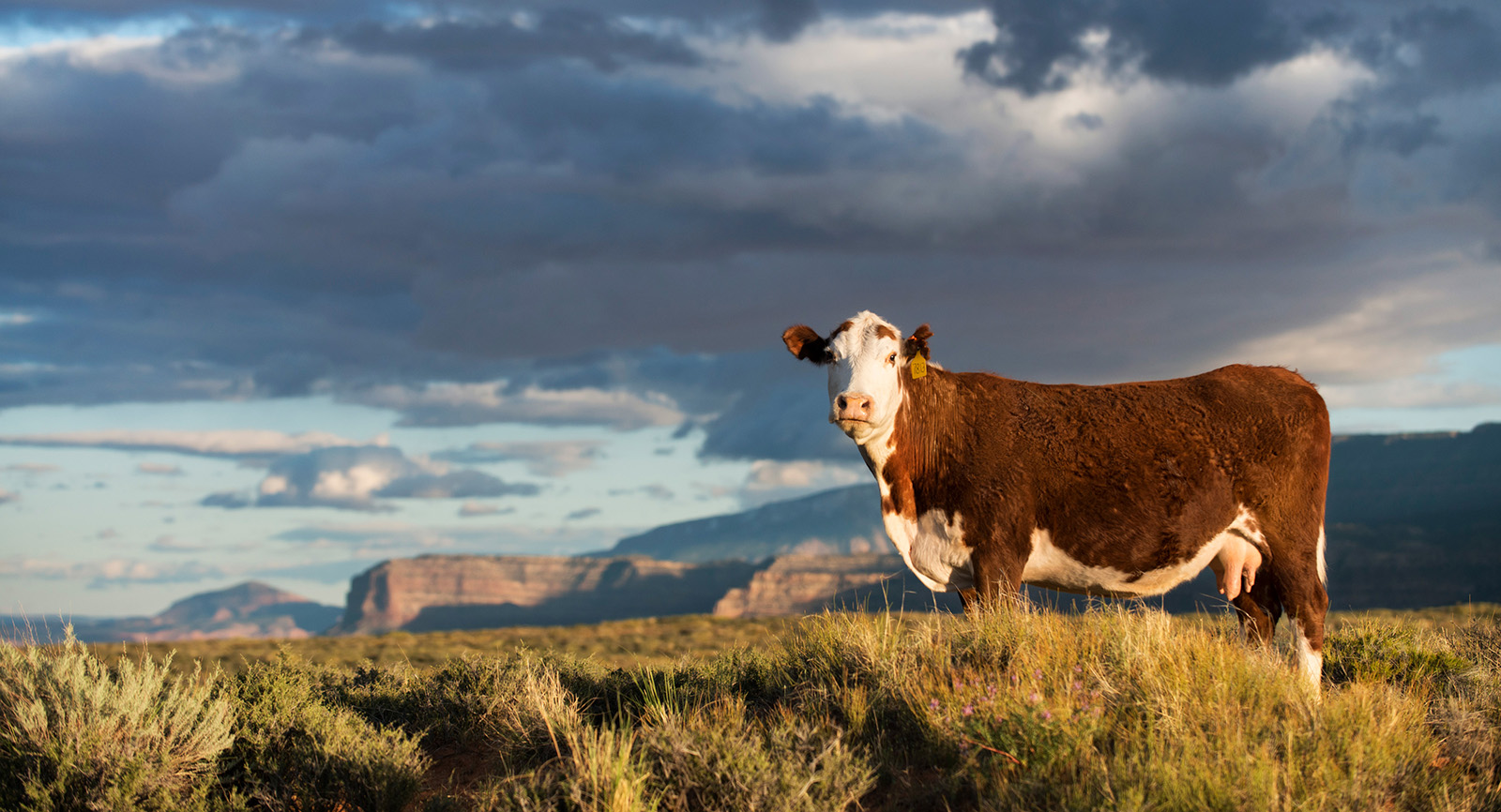 Cow stands in the open range. Photo by James and Jenny Tarpley.