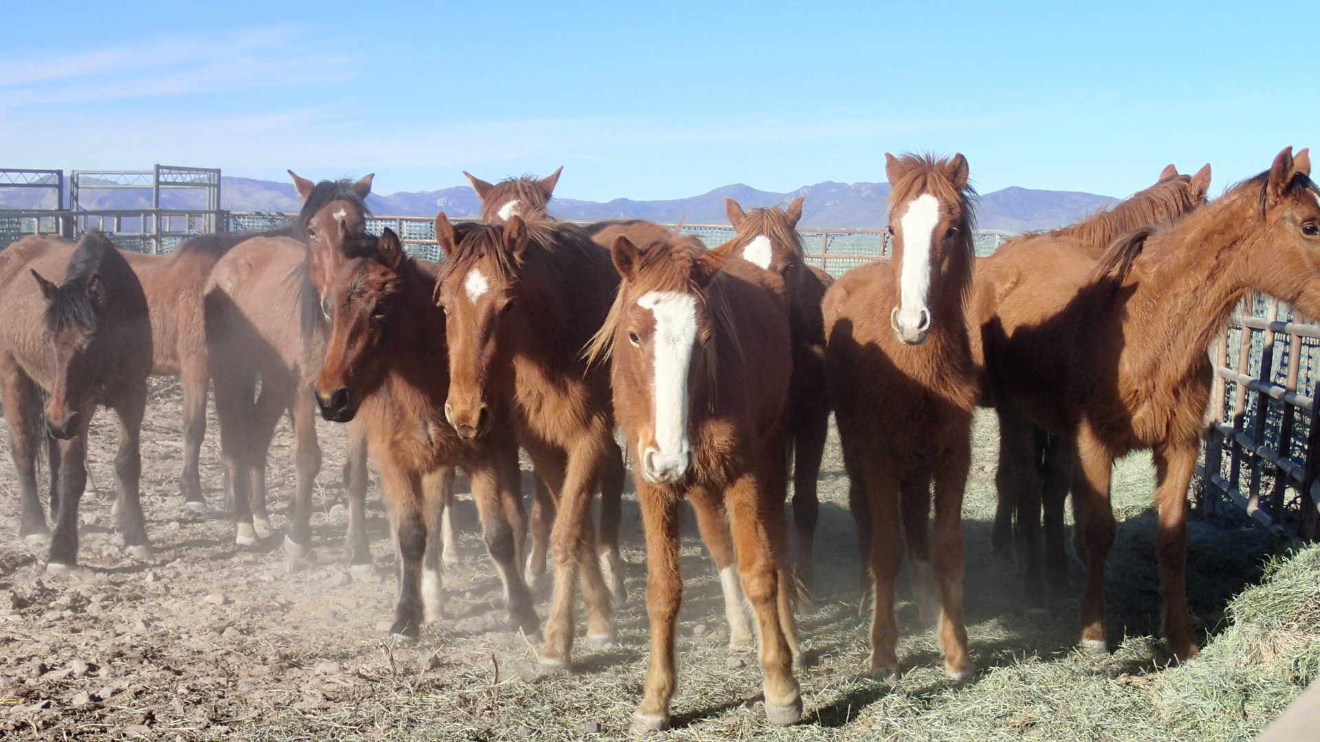 Recently gathered horses in a pen.