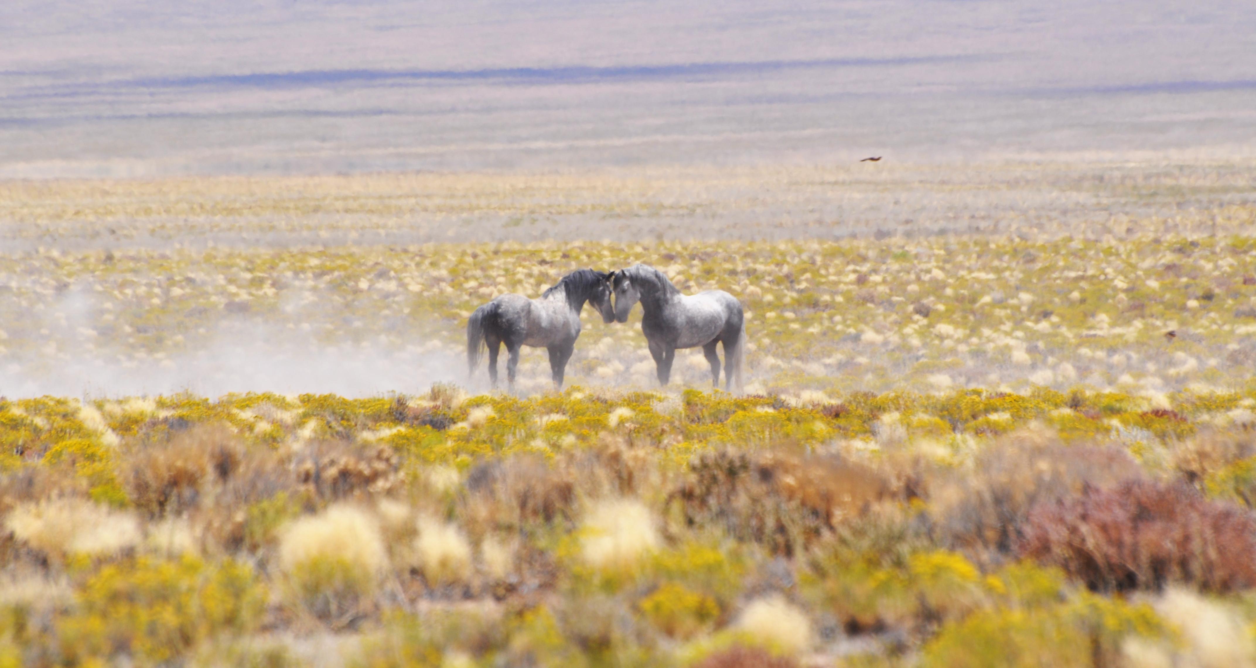 Horses on Stone Cabin HMA