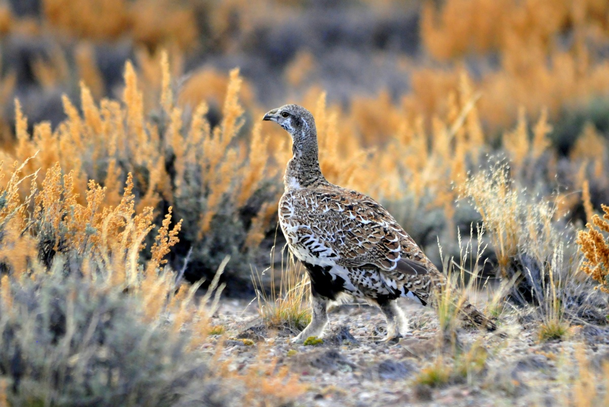 A sagegrouse close up in the field. BLM photo.