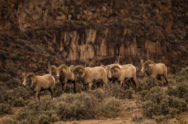 Group of sheep move through sagebrush on public lands
