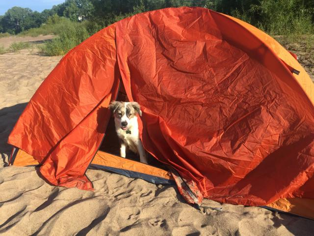 Dog pops his head out of a tent.