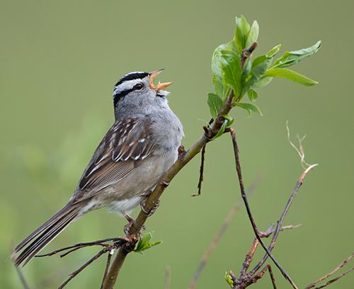 White-crowned sparrow singing A white-crowned sparrow sings from a branch.
