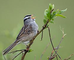 CCSC White-crowned sparrow singing A white-crowned sparrow sings from a branch.