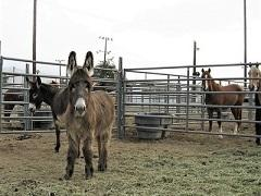 Furry burro in a corral. Photo by Alex Niebergs, BLM.