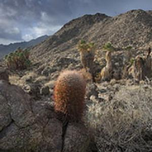 Cactus and palm trees dot the rocky desert landscape of the Santa Rosa and San Jacinto Mountains National Monument.  Photo by Bob Wick, BLM.
