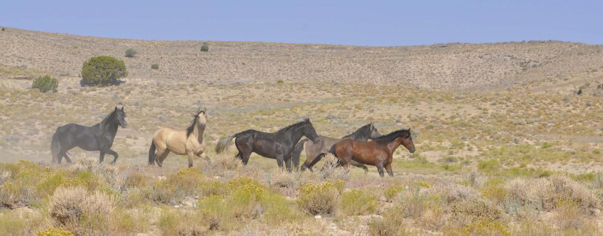 Over a two-day time frame, 100 horses were released back onto the range as a part of the horse behavior and ecology research study. Photo by Lisa Bryant.