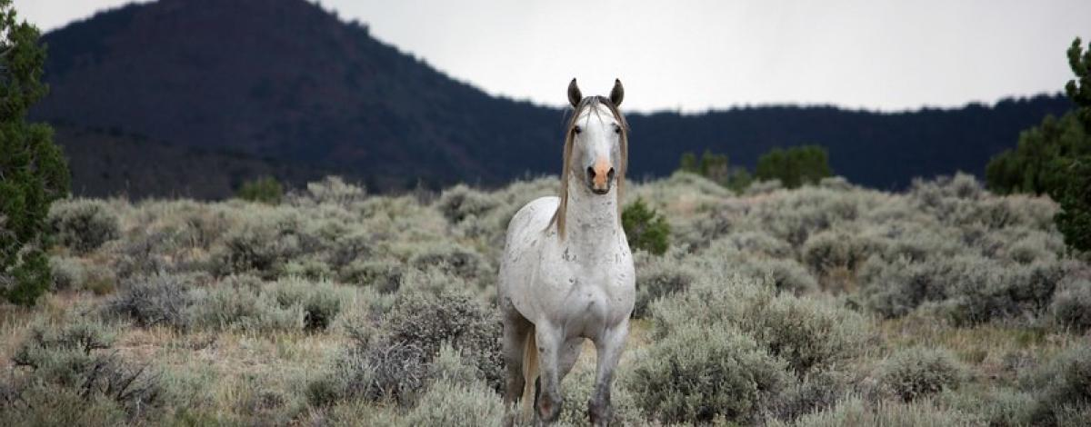 Swasey Wild Horse looking directly at photographer