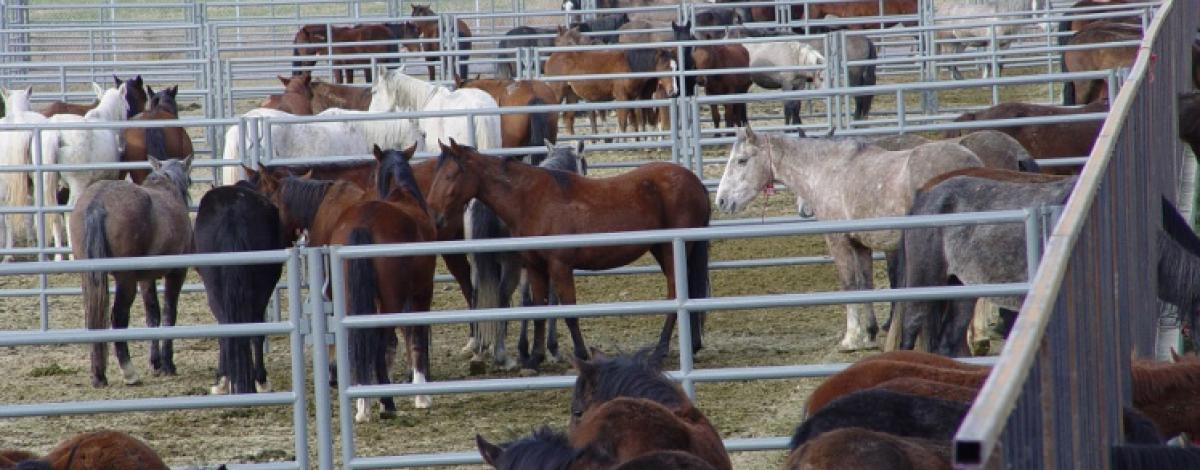 Wild Horses in Corrals at Delta