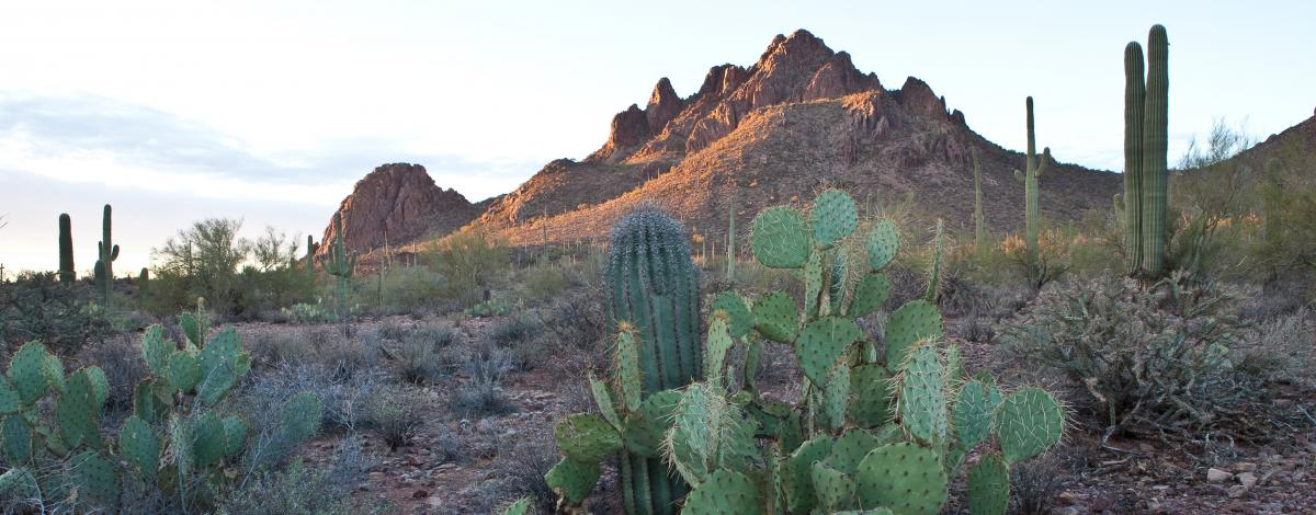 a desert landscape with prickly pear and saguaro cactus and distant mountains