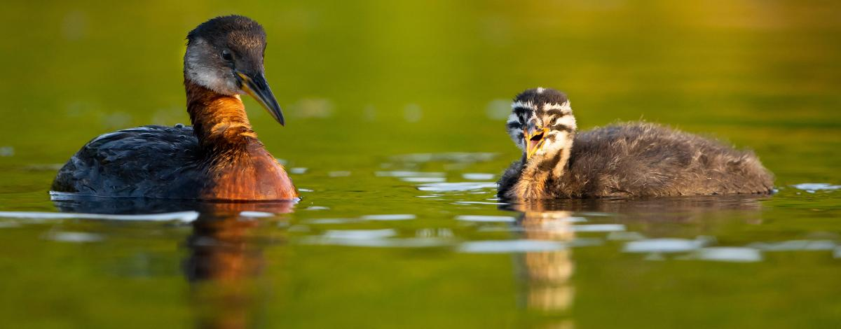 Red-necked grebe parent and chick on lake.