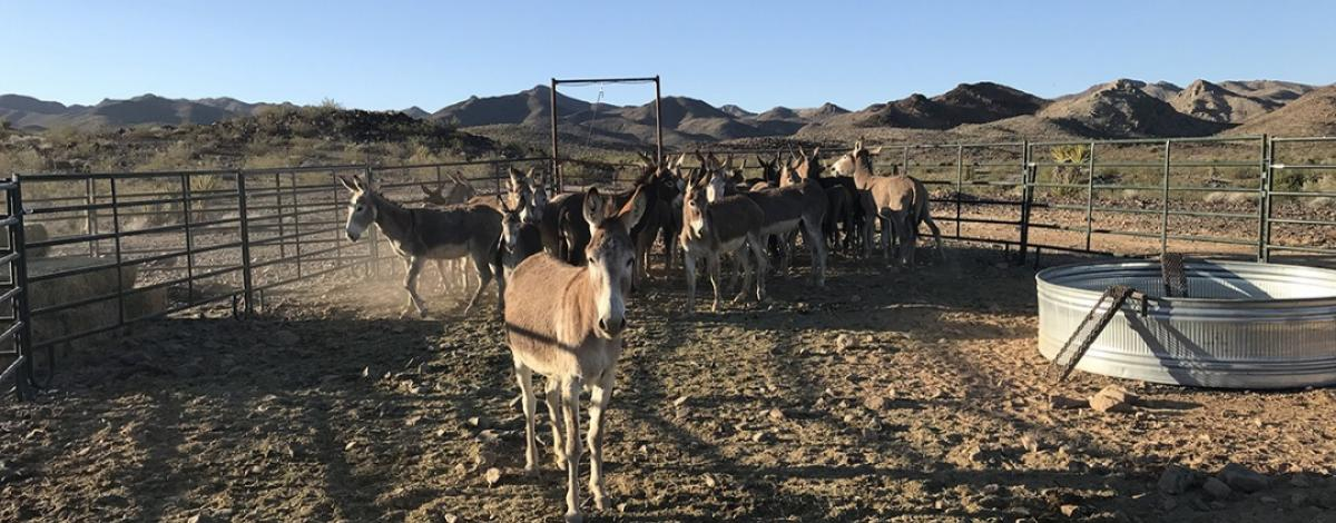 Wild burros within a bait trap.