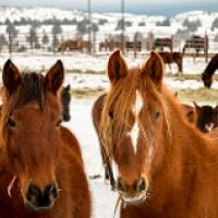 Wild horses in a holding pen.