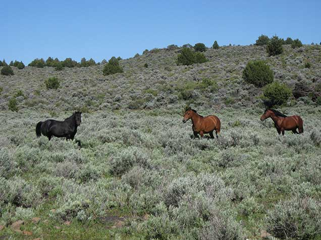 A black and two bay horses in sagebrush. BLM photo.