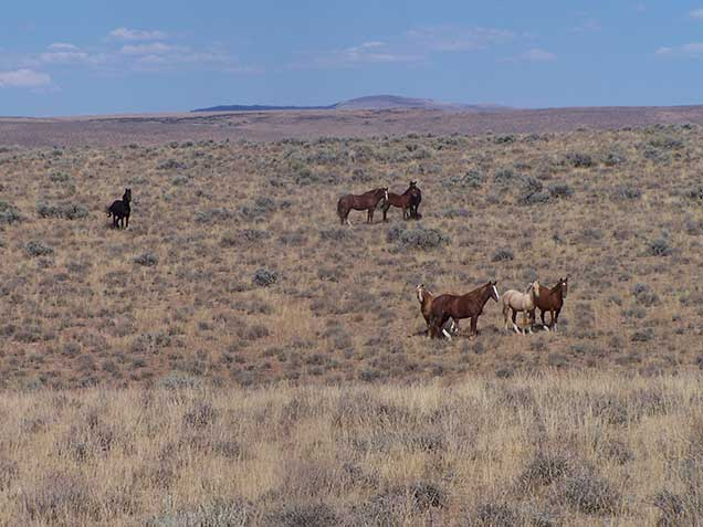Two groups of horses standing in the sagebrush desert. Photo by Amy Dumas/BLM.