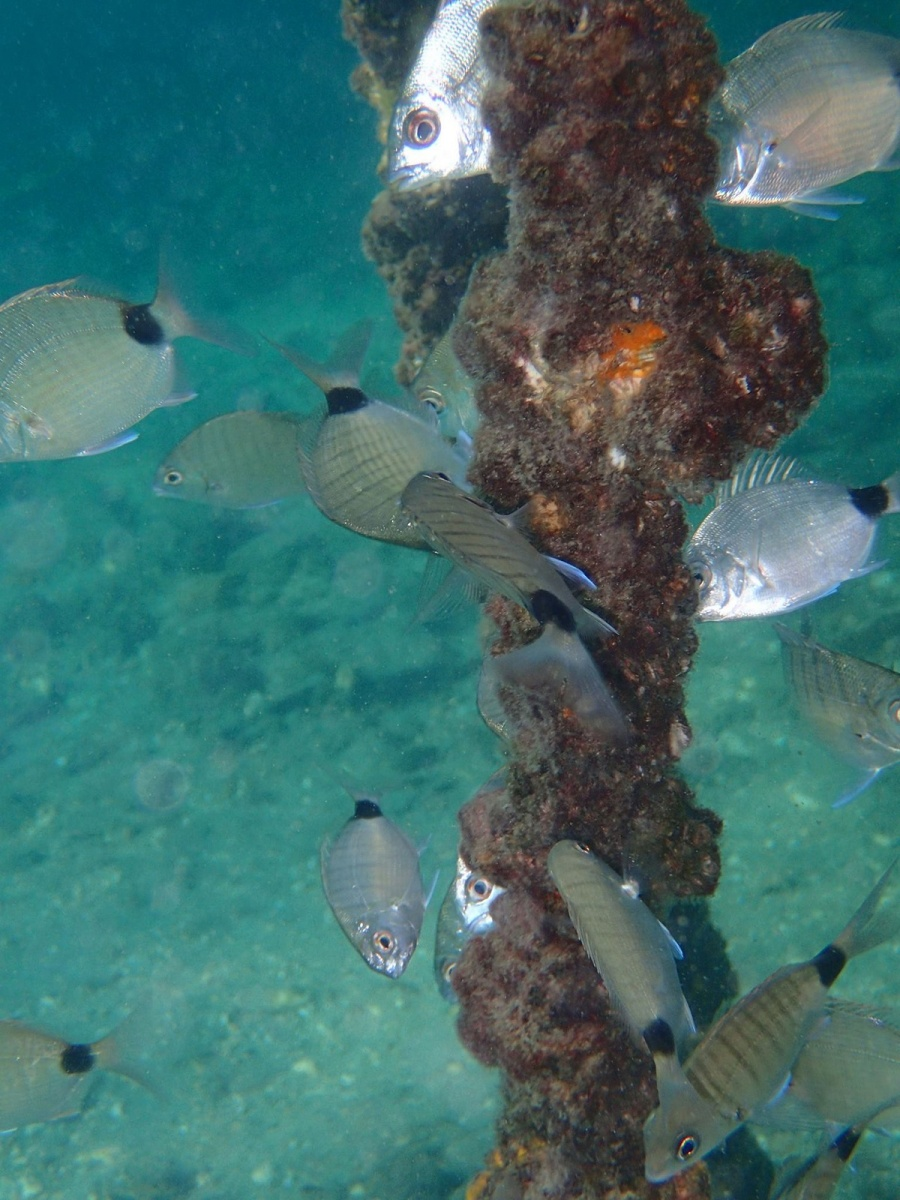 An underwater vertical view of many small fish swimming around a tall piling.